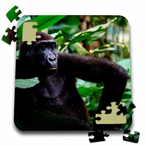 - Danita Delimont - Primates - Western lowland gorilla contemplating life. Odzala Kokoua NP. Congo - 10x10 Inch Puzzle (pzl_276413_2)
