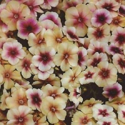 30 Phlox Cherry Caramel//semi perenne fiore