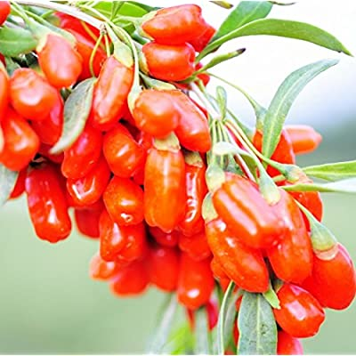 Futaba Himalayan Tibetan Goji Berry Wolfberry Fruit 100 Seeds : Garden & Outdoor