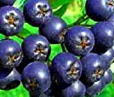 McKenzie' Aronia tree blueberry flavored fruit on shrub berry juice LIVE PLANT