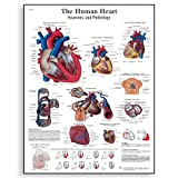 """3B Scientific VR1334UU Glossy Paper The Human Heart Anatomy and Physiology Chart, Poster Size 20"""" Width x 26"""" Height"""