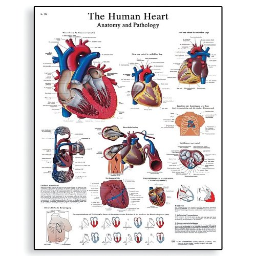 3B Scientific VR1334UU Glossy Paper The Human Heart Anatomy and Physiology Chart, Poster Size 20-Inch Widthx26-Inch Height B0017Y65RK