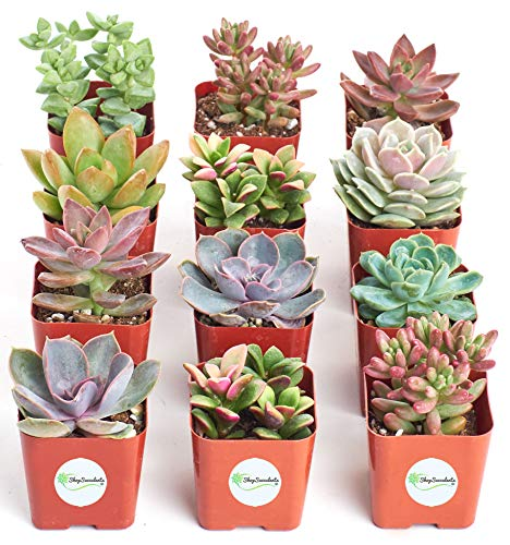 Shop Succulents  Premium Pastel Collection of LiveSucculent Plants, Hand Selected Variety Pack of Mini Succulents   Collection of 12 in 2'' pots by Shop Succulents (Image #2)