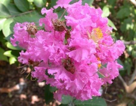 35 Dark Pink Crepe Myrtle Lagerstroemia Flowering Shrub