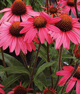 Glowing Dream Coneflower Seeds (Echinacea) 50 Seeds Upc 647923989458