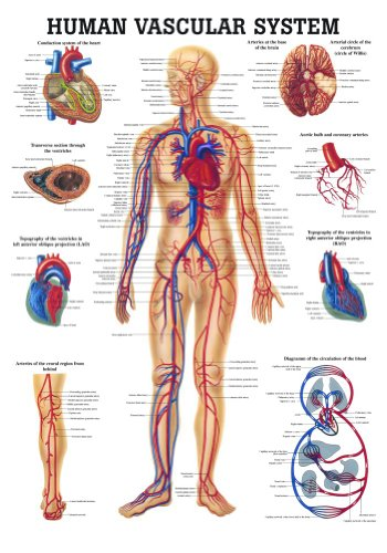 Anatomical Worldwide CH06 The Human Vascular System Laminated Anatomy Chart ()
