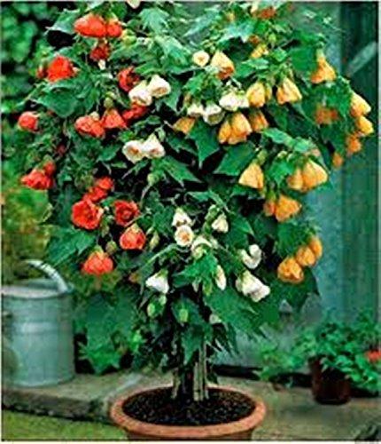 Chinese Lantern - 75 Seeds - Organically Grown - -
