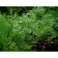 Dill Herb Seeds- Bouquet- Organic- 1,300+ Seeds