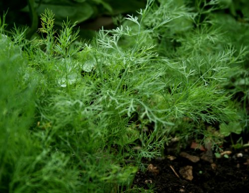 Dill Herb Seeds- Bouquet- Organic- 1,300+ Seeds (Bouquet Dill Seeds)