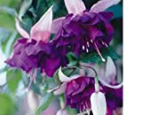 FUCHSIA PLANTS GIANT FLOWERED PLUGS DEEP PURPLE (5)