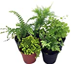 #6: Mini Ferns for Terrariums/Fairy Garden - 5 Different Plants-2