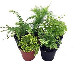 Mini Ferns for Terrariums/Fairy Garden - 5 Different Plants-2\