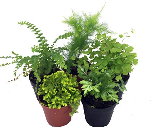 Mini Ferns For Terrariums Fairy Garden 5 Different Plants 2 Pots