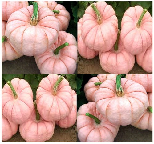 5 x Porcelain Doll F1 Pink Pumpkin Seeds - RARE EXOTIC for FUND RAISING - By (Pink Pumpkin)