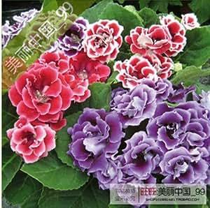 120 PC hermosas Semillas Flores Gloxinia, Sinningia Gloxinia Jardín de flores en maceta plantas, establecimiento perenne fácil de cultivar 5