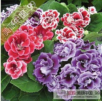 Amazon 120 Pcs Beautiful Flowers Gloxinia Seeds Sinningia