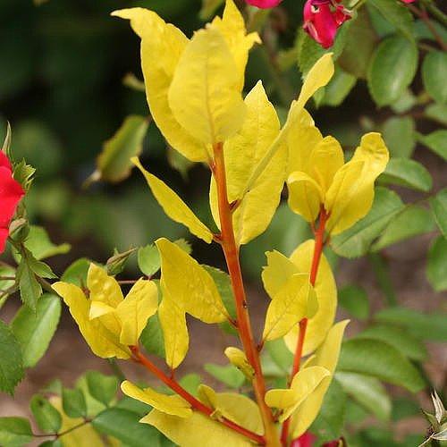 sicilian-sunshinetm-sweet-bay-laurel-herb-laurus-nobilis-4-pot-proven-winners