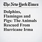 Dolphins, Flamingos and Pigs: The Animals Rescued From Hurricane Irma | Jacey Fortin