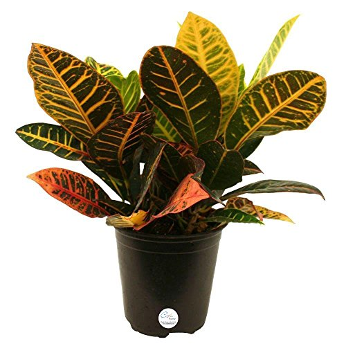 Costa Farms Croton Petra Live Indoor Tabletop Plant in 6-Inch Grower Pot