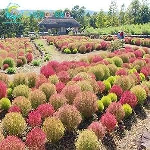 Sale! 50pcs Semillas Bush Kochia scoparia Red de semillas de pasto perenne Bonsai Garden plantas ornamentales de regalo de colores Fácil Grow