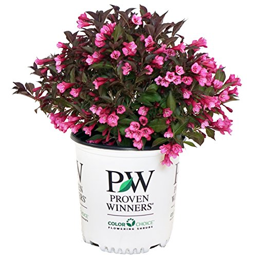 Proven Winners - Weigela Florida Wine & Roses (Weigela) Shrub, Pink Flowers, 2 - Size Container by Green Promise Farms