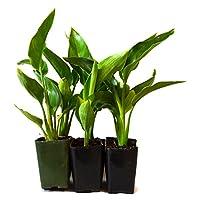 9Greenbox Live Plants, Orange Bird of Paradise, 4 Pound (Pack of 6)