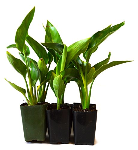 9Greenbox Live Plants, Orange Bird of Paradise, 4 Pound (Pack of 6) by 9GreenBox.com