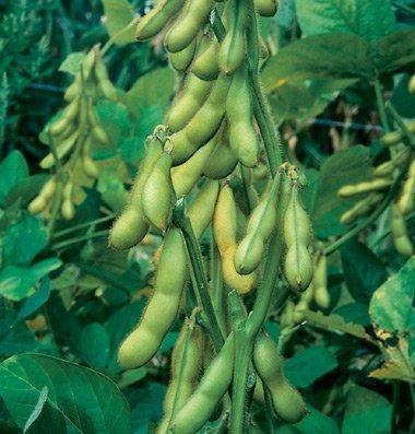 David's Garden Seeds Bean Soy Butterbean D104A (Green) 100 Organic Seeds