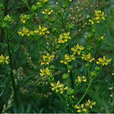 Rue Seeds (Ruta graveolens) 40+ Rare Heirloom Medicinal Herb Seeds : Garden & Outdoor
