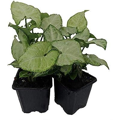 "White Butterfly Arrowhead Plant Syngonium Nepthytis 3"" Pots 2 Pack - Hgarden365 : Garden & Outdoor"