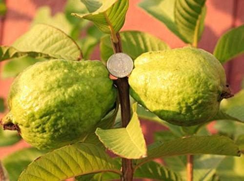 9EzTropical - White Flesh Guava Tree - 1 Plant - 2 to 3 Feet Tall - Ship in 1 Gal Pot ()