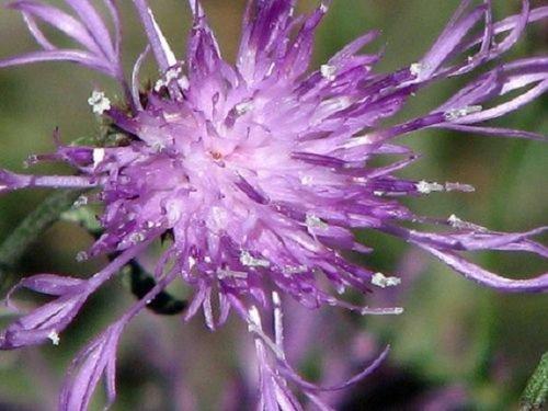 nt Cleome/Perennial Flower Seeds ()