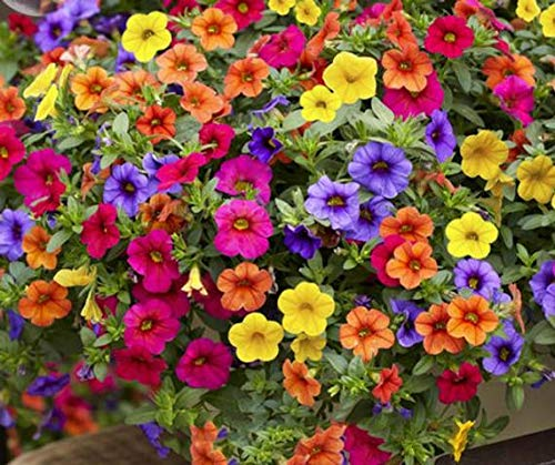 Lekofo Seed House - 200 Pcs Hanging Petunia Flower Seeds Mixed Colors Flower Perennial Bonsai Petunia Seeds Perennial Hardy Shine Your Garden ()