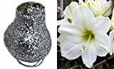 Glitter Dipped Wax Amaryllis Bulb - Silver-Amazing No Soil/Water Needed to Bloom
