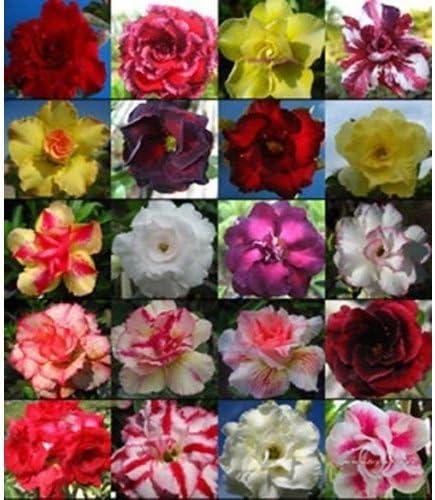 Fresh Mix-color Rose du d/ésert Obesum Graines bonsa/ï Desert Rose Fleur Graines
