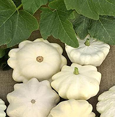 Seeds Squash Belyi - White Rare Organic Russian Heirloom Vegetable Seed