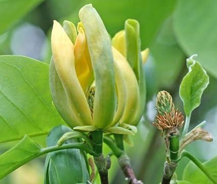 Amazoncom 1 Packet Of 10 Seeds Magnolia Acuminata Magnoliales