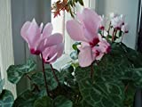 Cyclamen persicum Grandiflora. Rosemary F1 Flower Seeds indoor from Ukraine