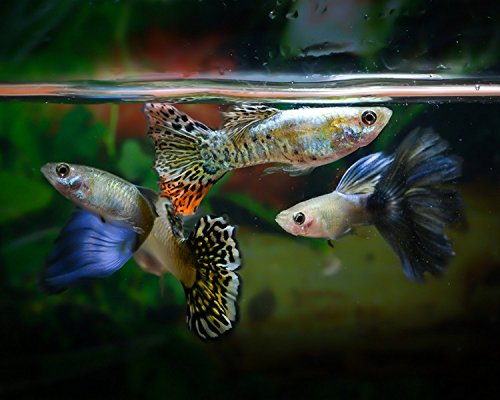 12 Fancy Assorted Guppies - Live Fish 6 Male 6 Female - Free Fry Combined Ship