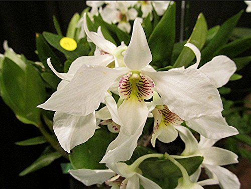 Orchid Dendrobium Silver Wings Nida .. Stock - Care Orchid Vanda