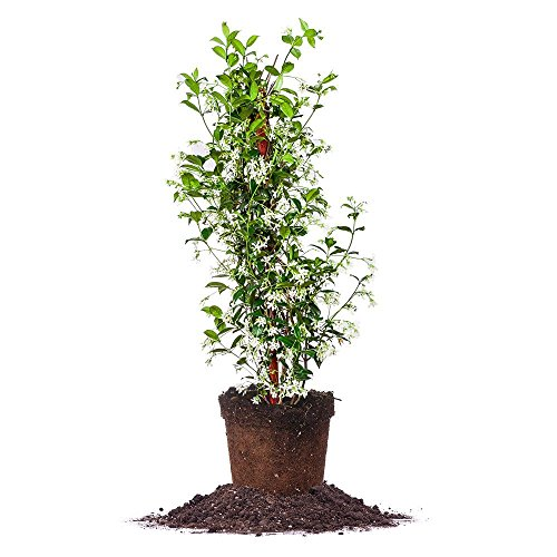 CONFEDERATE JASMINE - Size: 3 Gallon, live plant, includes special blend fertilizer & planting (Climbing Jasmine Plant)