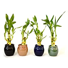 9GreenBox Live 3 Style Party Set of 4 Bamboo Plant Arrangement w/ Ceramic Vase
