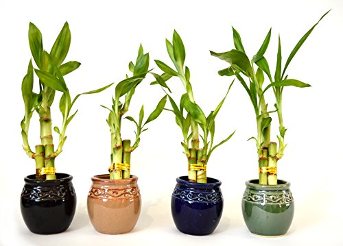 (Live 3 Style Party Set of 4 Bamboo Plant Arrangement w/Ceramic Vase)