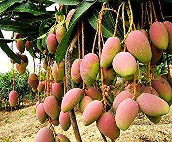 1bag=2pcs Giant Mango Tree Seeds Rare herb Exotic Delicious Fruits Seeds Mini Potted Cherry Seeds Home & Garden