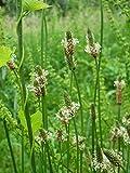Seedeo Spitzwegerich (Plantago lanceolata) 500 Samen