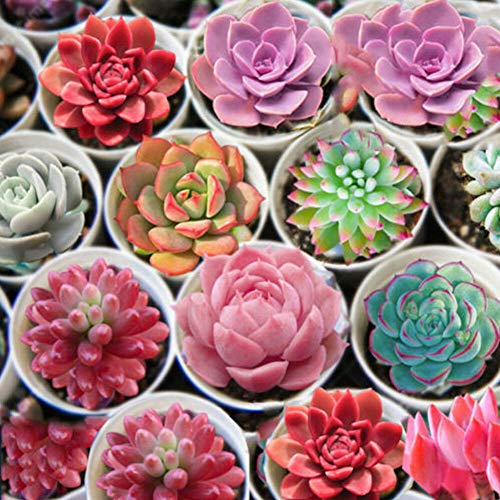 Opla3ofx Seeds for Painting, 600Pcs Mixed Succulent Seeds Lithops Rare Living Stones Bonsai Home Garden Plant,Idea Outdoor and Indoor Ornament 600pcs Succulents Seeds