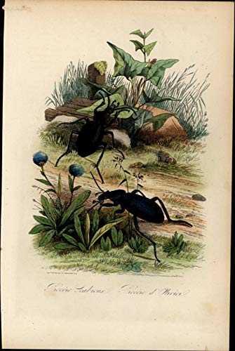 Hand Engraved Setting - Insects bugs beetles in nature setting 1854 Natural History hand color print