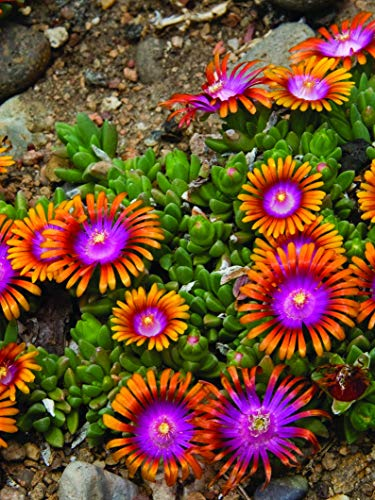 Perennial Farm Marketplace Delosperma 'Fire Spinner' (Ice Plant) Groundcover