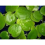 Wasserpflanzen Limnobium leavigatum-Kleiner Froschbiss, Aquariumpflanzen
