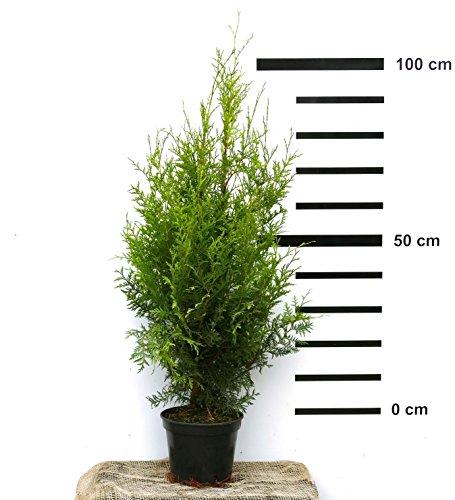 Hecken-Pflanze Thuja occidentalis Brabant 80-100 cm hoch - ideal als schnell wachsender Sichtschutz
